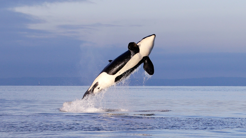 An endangered female orca leaps from the water while breaching in Puget Sound west of Seattle, Saturday, Jan. 18, 2014. (AP / Elaine Thompson)