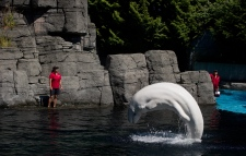 A beluga whale is seen at the Vancouver Aquarium in this undated image.