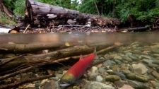 Spawning sockeye salmon are seen making their way up the Adams River in Roderick Haig-Brown Provincial Park near Chase, B.C. Tuesday, Oct. 4, 2011. (THE CANADIAN PRESS/Jonathan Hayward)