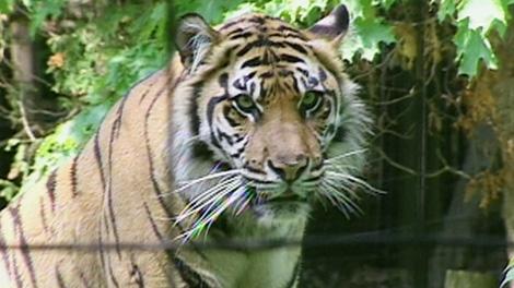 Brytne, 13-year-old a female Sumatran tiger is seen at the Toronto Zoo.