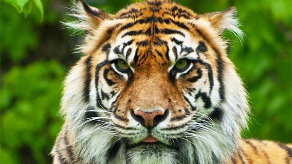 Brytne, a 13-year-old a female Sumatran tiger, is seen at the Toronto Zoo. (Flickr / Lara W.)