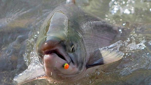 Sockeye salmon in B.C.