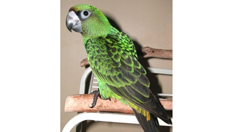 Staff at the Petland on Pembina Highway say a parrot similar to the one pictured was stolen Friday night.