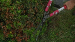 Canada AM: Pruning your shrubs and bushes
