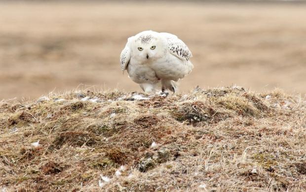 Live cam on Alaskan snowy owl