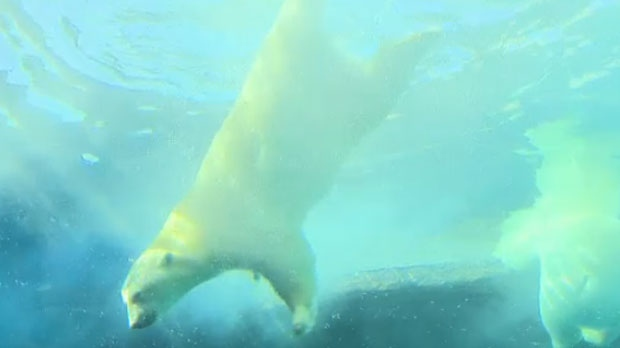 Polar bears swim in Winnipeg