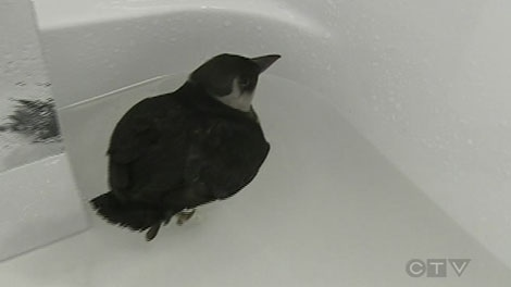 This little puffin was found on a downtown Montreal street.