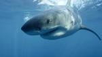 In this undated file publicity image provided by Discovery Channel, a great white shark is shown. (AP Photo/Discovery Channel, Andrew Brandy Casagrande)