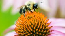 Bumblebee pollinates a flower