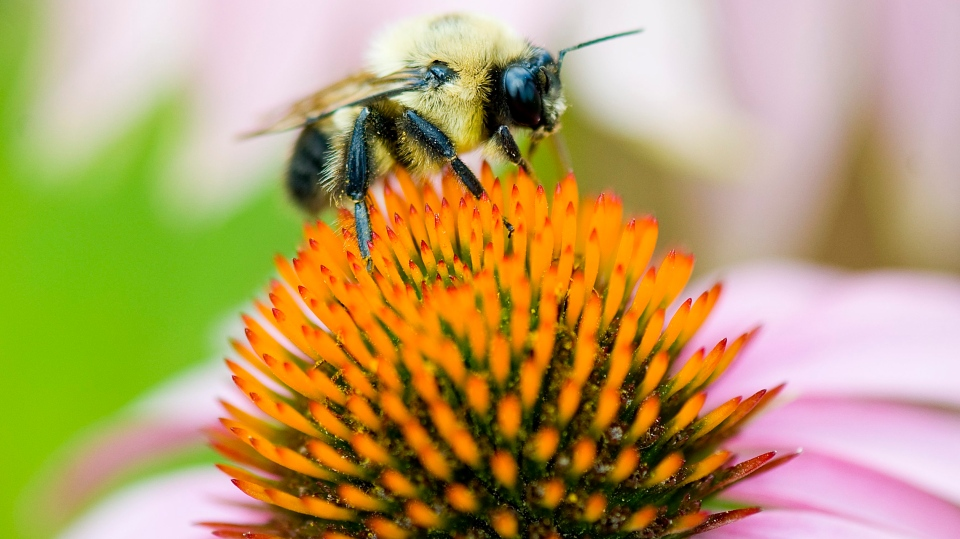 A bumblebee pollinates a flower in Montreal in this file photo from Thursday, July 29, 2010. (THE CANADIAN PRESS IMAGES/Graham Hughes)