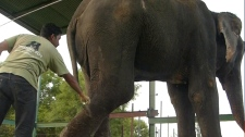 Elephant rescued in India