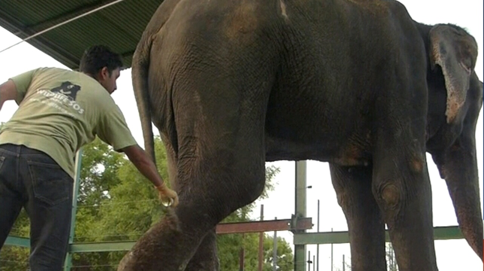 Wildlife SOS India helped to organize a lengthy and emotional rescue of an elephant that had been held in captivity for 50 years.