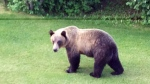 CTV Calgary: Grizzly bear spotted