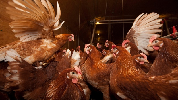 Free range chickens in B.C.