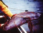 A porpoise is seen trapped in a fishing net at the Gulf of California. (Proyecto Vaquita)