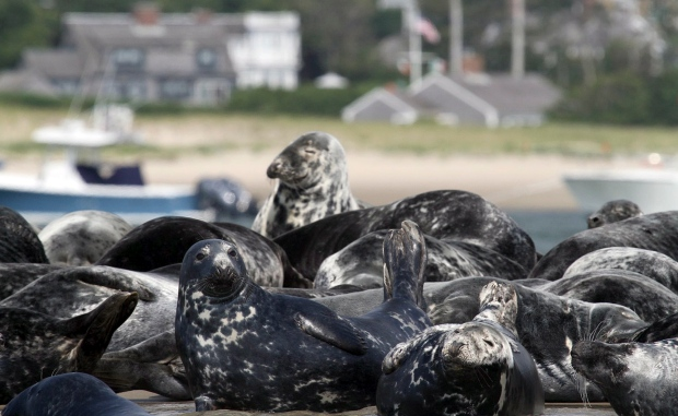 Greu seals on the shore in Chatham, Mass.