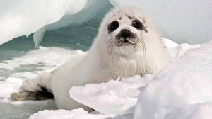 In this file photo, a young harp seal rests on the ice floes in the southern Gulf of St. Lawrence, Wednesday, March 25, 2009. (Andrew Vaughan / THE CANADIAN PRESS)