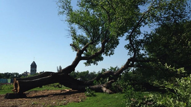 The tree, known to some as Grandma Elm, was brought down July 22, 2014 after testing positive for Dutch elm disease.