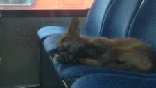 Fox on a bus in Ottawa