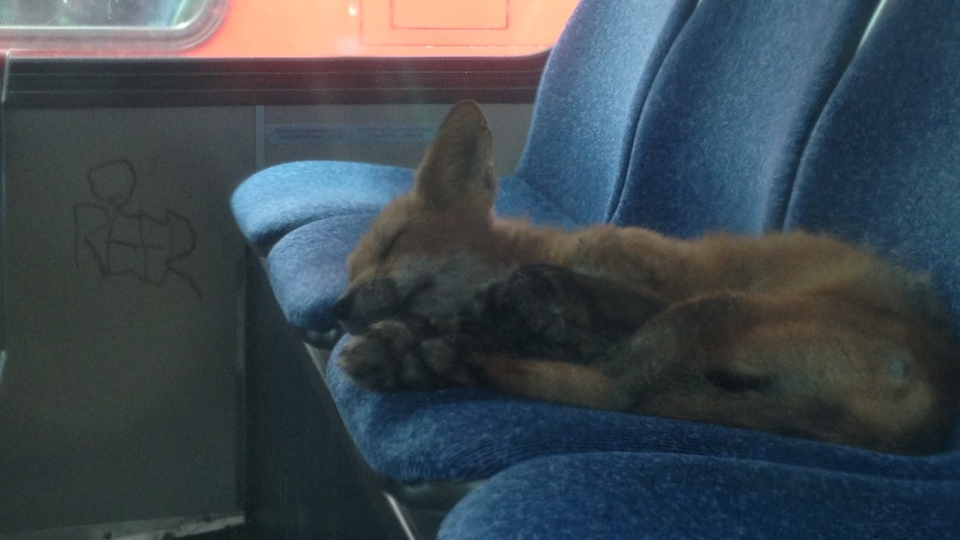 This fox was caught napping at the back of an OC Transpo bus parked at the Industrial Avenue maintenance garage. (OC Transpo)