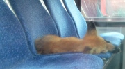 CTV Ottawa: Fox steals a nap on OC Transpo bus
