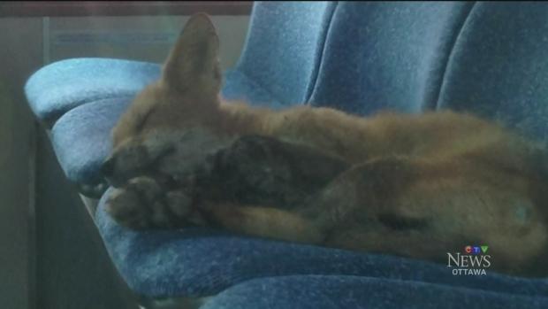 CTV Ottawa: Fox naps on the bus | CTV News Ottawa