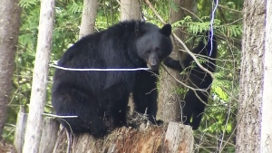 CTV Vancouver: Bear wanders into North Van home
