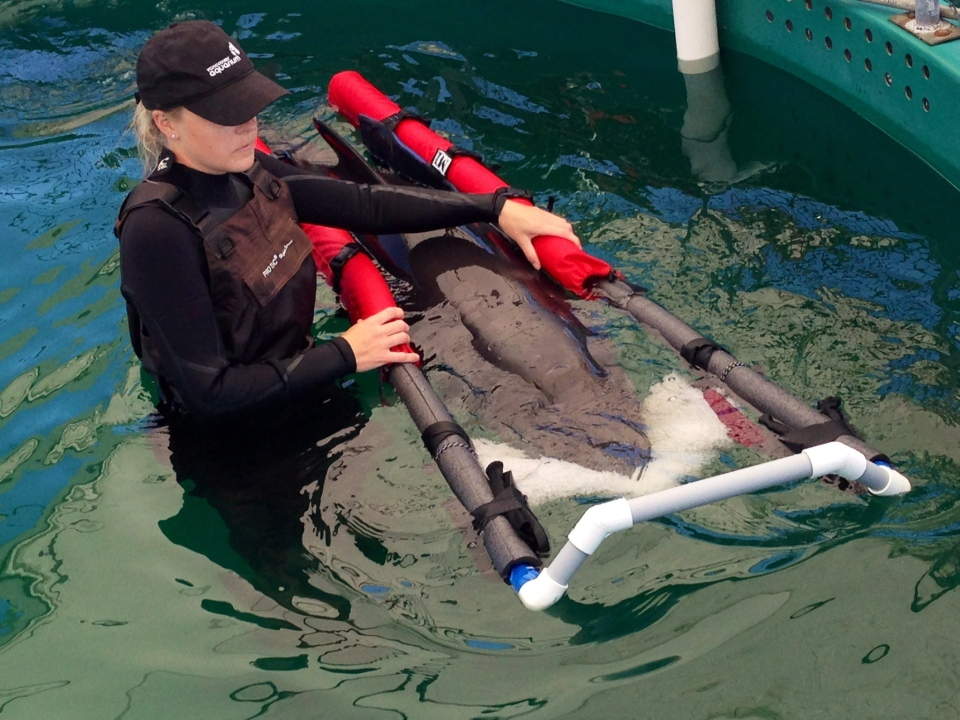 Vancouver Aquarium veterinary technician Jenelle Hebert circulates a false killer whale calf through a pool at the Vancouver aquarium's Marine Mammal Rescue Centre on July 11, 2014. (Dene Moore / THE CANADIAN PRESS)