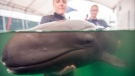 A photo released by the Vancouver Aquarium shows a rescued false killer whale receiving treatment from staff, Thursday, July 24, 2014. (Vancouver Aquarium)