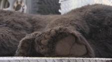 bear killed port coquitlam