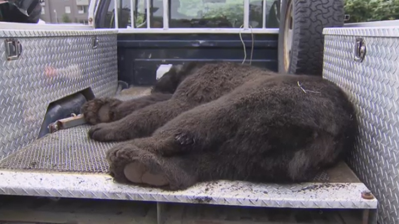 A wounded bear was killed in Port Coquitlam on July 25, 2014. (CTV)
