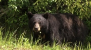 CTV National News: Keeping bears at bay