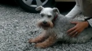 Schnauzer faints after being reunited with owner