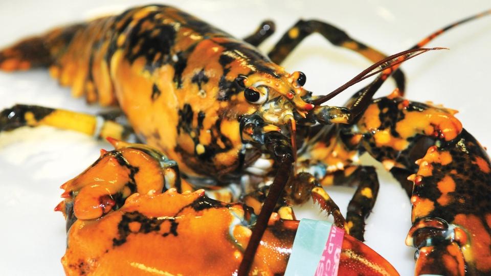 Fisherman Donates Rare 1 In 30 Million Calico Lobster To