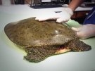 A Spiny Softshell Turtle is recovering, following surgery on Thursday, July 31, 2014 in Windsor, Ont., to remove a hook that got lodged in the reptile's throat. (Sacha Long/ CTV Windsor)