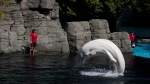 A beluga is seen at the Vancouver Aquarium in this undated photo. (Darryl Dyck / THE CANADIAN PRESS)