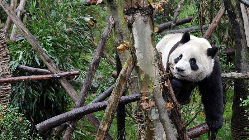 A panda plays in Panda Valley natural reserve in Dujiangyan city, in southwestern China's Sichuan province, Wednesday, Jan. 11, 2012. (AP Photo)