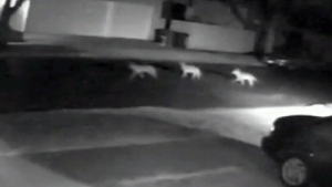 Caught on cam: Coyotes chase man and his dog