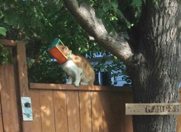 Butterscotch cat with head stuck