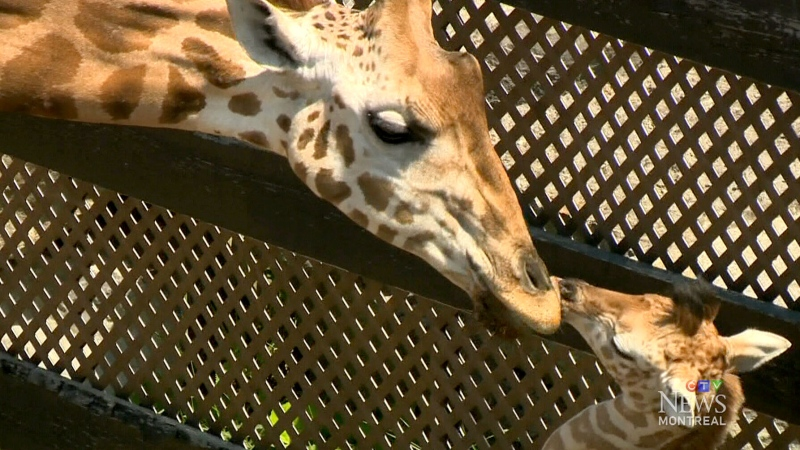 CTV Montreal: Giraffe gives birth at Parc Safari