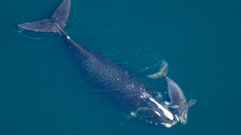 Gliders to probe mystery of right whales