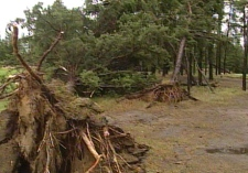 Strong winds uprooted trees on a golf course in Spruce Home, about 35 kilometres north of Prince Albert, on Tuesday, Aug. 26, 2008.