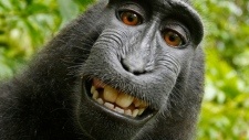 A series of 'selfies' taken by Indonesian monkeys, including the one shown here, has sparked a copyright argument between British photographer David Slater and Wikipedia.