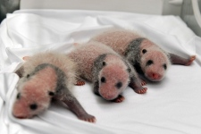 Triplet pandas born in China