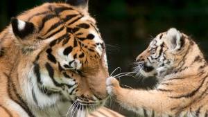 An Amur tiger cub plays with its mother at a zoo in Gotha, Germany on Sunday, June 22, 2014. (AP / Jens Meyer)