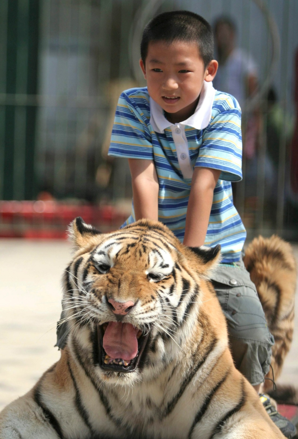 A boy poses for a photo on a circus tiger in Xiamen in southeast China on Tuesday, Sept. 30, 2008. (AP Photo)