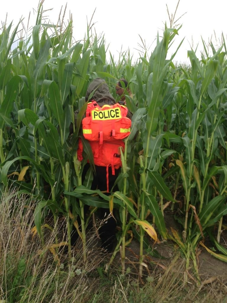 An OPP officer searches for a two-year-old girl, who went missing in a cornfield near Centralia, Ont., on Wednesday, Aug. 13, 2014. (Bryan Bicknell/ CTV London)