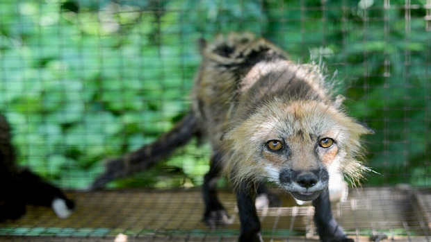 A mistreated fox found by the SPCA on a farm in the Monteregie.