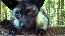 SPCA says Quebec fur farm conditions 'hell'