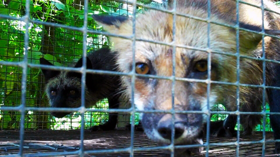 The SPCA is still calling for a Quebec fur farm to be shut down three weeks after images of neglected and abused animals were released.